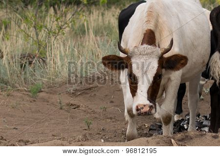 White horned cow in the red spot