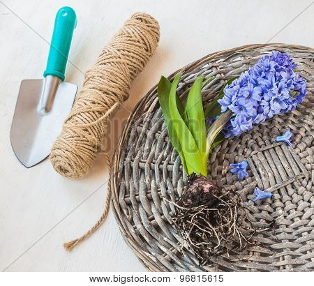 Blooming Hyacinth With Roots On A Wicker Round
