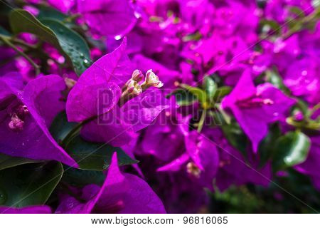 Purple mediterranean flowers on a morning sunshine in Sithonia