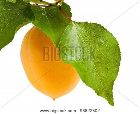 Ripe Apricot On Branch