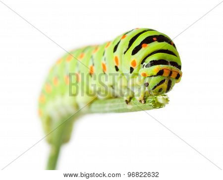 Green Caterpillar On Twig