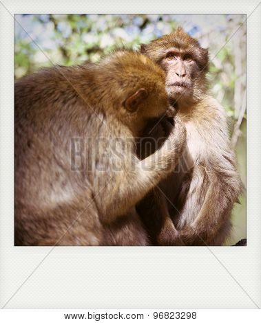 Instant Photo Of Barbary Macaque