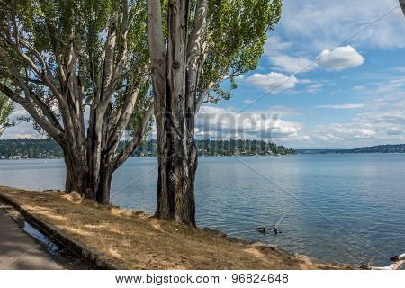 Poplar Trees At Seward Park