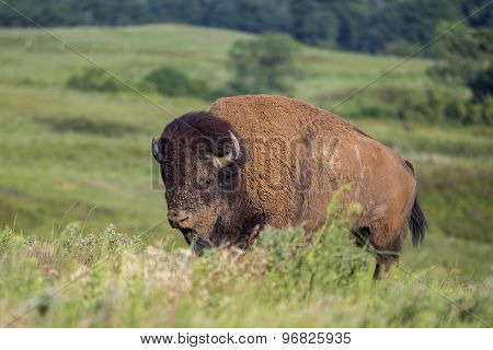 American bison bull climbing hill