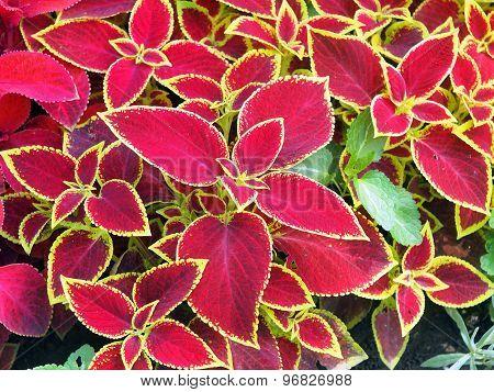 Red Coleus Plant Closeup