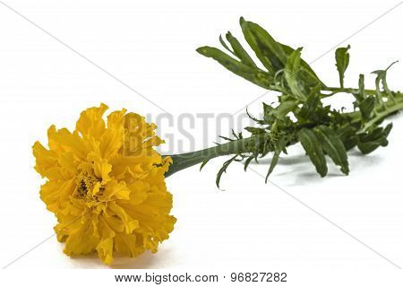 Flower Of Marigold, Lat.tagetes, Isolated On White Background