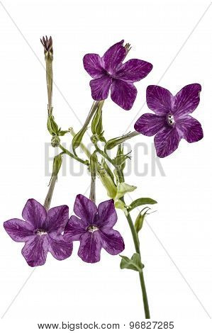 Flowers Of Tobacco Scented, Lat.nicotiana, Isolated On White Background