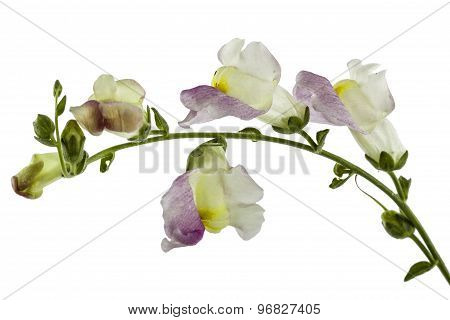 Flower Of Snapdragon, Lat.antirrhinum, Isolated On White Background
