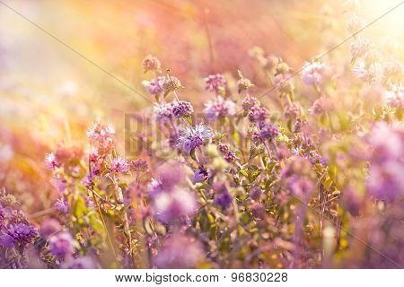 Purple meadow flowers lit by sunlight
