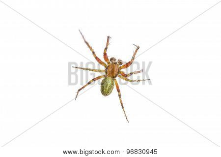 Rusty Green Spider On A White Background