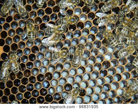 Bees on the honeycomb with larvae