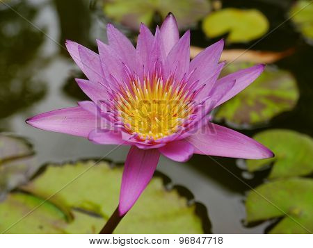 Pink Lotus and Yellow pollen so cute in The Water