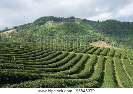 Tea Farm On Hill In Rain Clouds Background