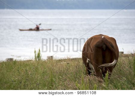 Cow Close To Beach