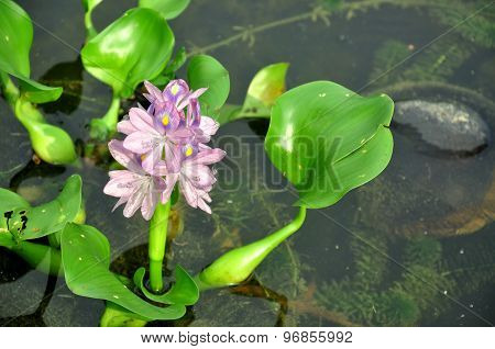 duckweed flowers