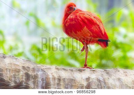 Oriental Red Stork.