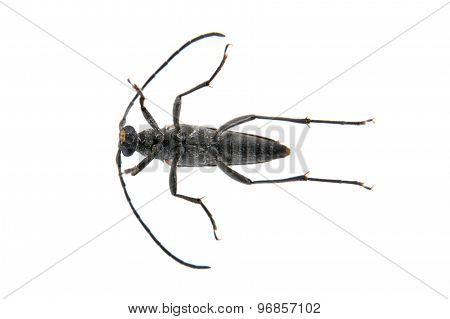 Black Beetle From Family Cerambycidae On White Background