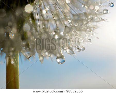 Dewdrops on a flower dandelion