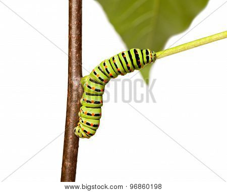 Colorful Caterpillar Squirm On Stem