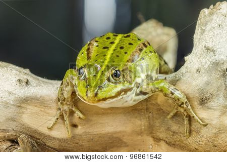 Frog On A Tree Branch