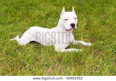 American Staffordshire Terrier lies.