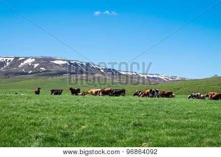 Landscape with cows in Iceland