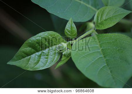 Belladonna Bud