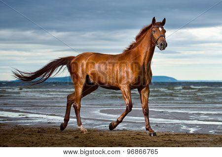 horse runs on the coast