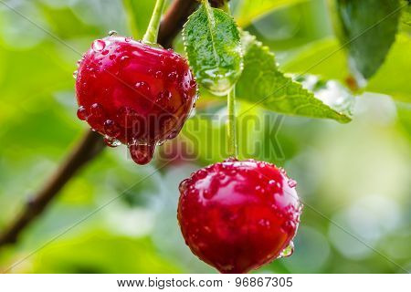 Two Cherries With Water Drops