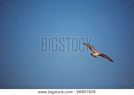 Flying Seagull In The Blue Sky.