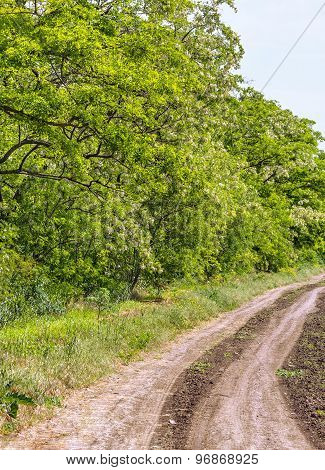 Road To The Field Along The Flowering Acacias