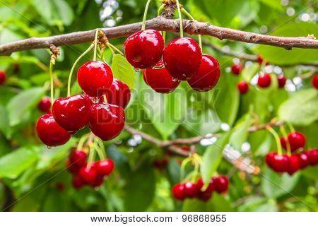 Berries Cherries On A Branch In The Rain