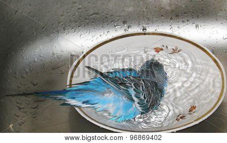 Cute, little blue budgie taking a bath.