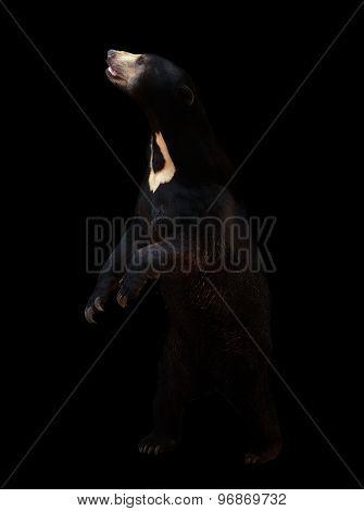 Malayan Sunbear In The Dark Background