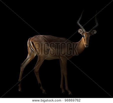 Male Impala In The Dark