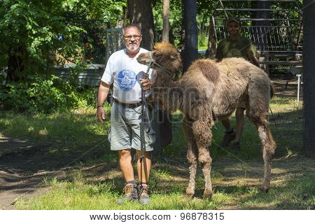 Two-humped Camel (camelus Bactrianus) Walking