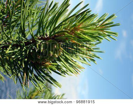Image Pine