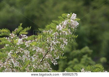 Flowering False Acacia