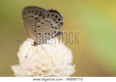 Small White Butterfly On White Flower
