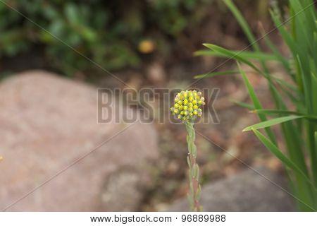 Reflexed Stonecrop Buds
