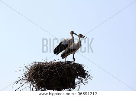 two beautiful storks in nest on a background of blue sky
