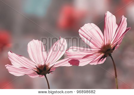 Two Beautiful Pink Cosmea Blossoms