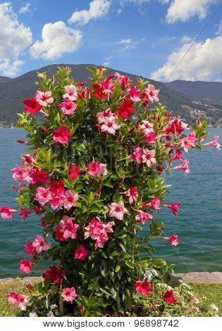 Beautiful Flowerpot With Mandevilla Red And Pink In The Bavarian Alps
