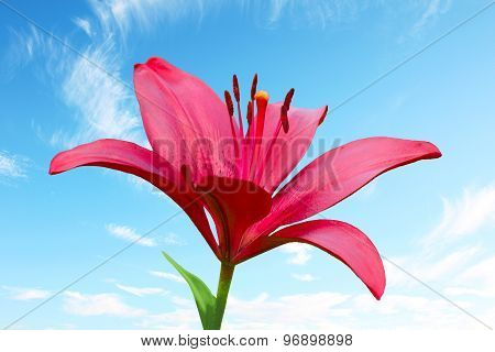 One Scarlet Fire Lily Against Blue Sky