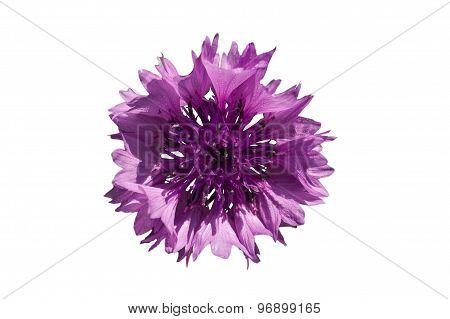 Purple Cornflower A White Background
