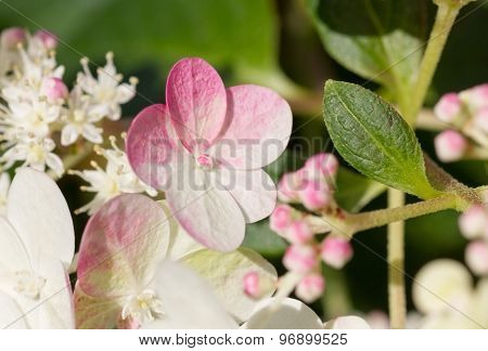 Hydrangea Sundae Fraise Blossoms