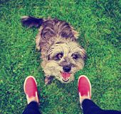 stock photo of begging  - a cute terrier mix begging for a treat in a park or backyard lawn with very green grass toned with a retro vintage instagram filter effect app or action - JPG