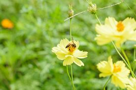 stock photo of cosmos flowers  - Blur short of Cosmos flower Blooming cosmos flowers - JPG