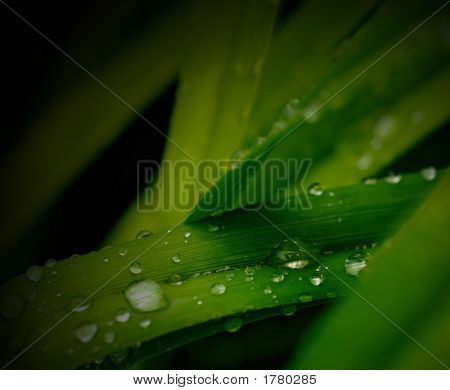 Rain Droplets On Lily Leaf 4