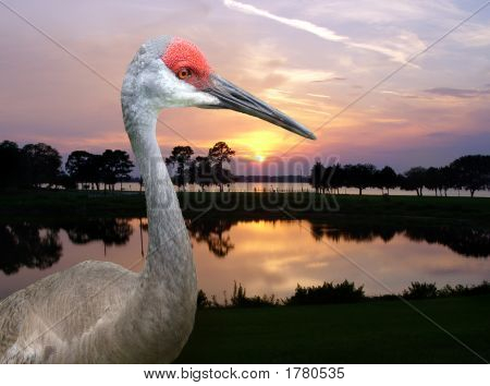 Sandhill Crane In Florida Sunset